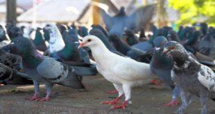 foto sobre Infestação de Pombos